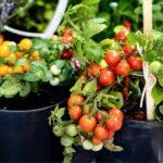 Какие помидоры посадить? Поможем выбрать сорта
